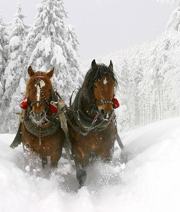 Two beautiful draft horses pulling a sleigh in the snow
